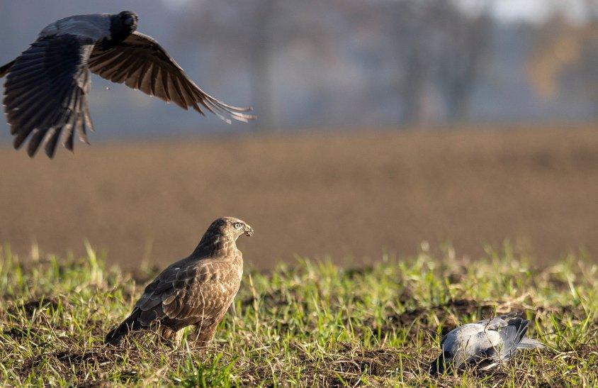 Radosław Dominowski prezentuje ptaki drapieżne