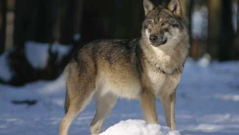 Wataha wilków w okolicach Zagozdu? Sołectwo ostrzega